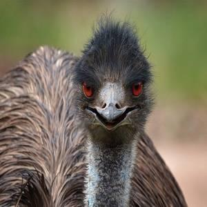 Какую из птиц можно встретить в австралии