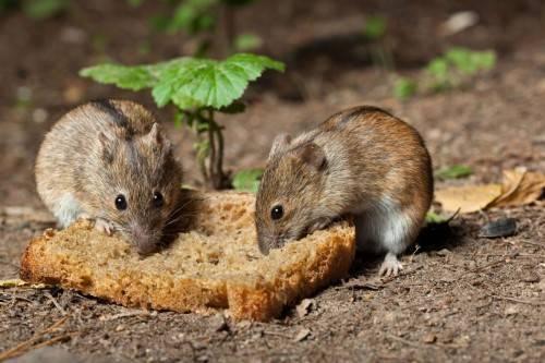 Чем питаются мыши в природе