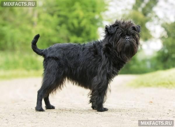 Бородатые собаки породы фото