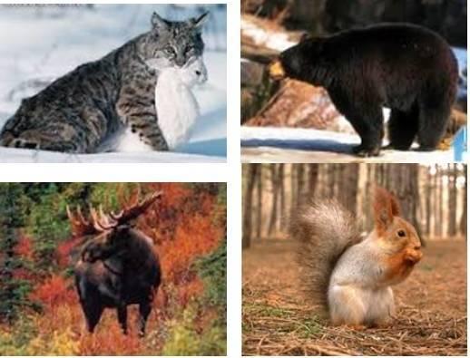 Животные хвойных лесов россии