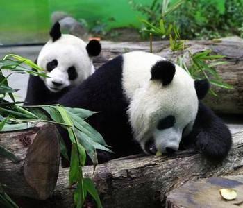 Інформація про панду