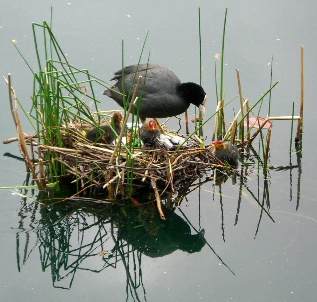 Виды водоплавающих птиц фото и названия