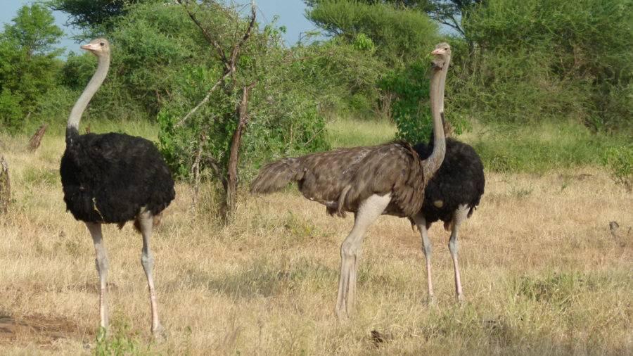Самая высокая птица в мире