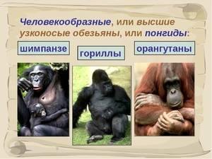 Человекообразные приматы