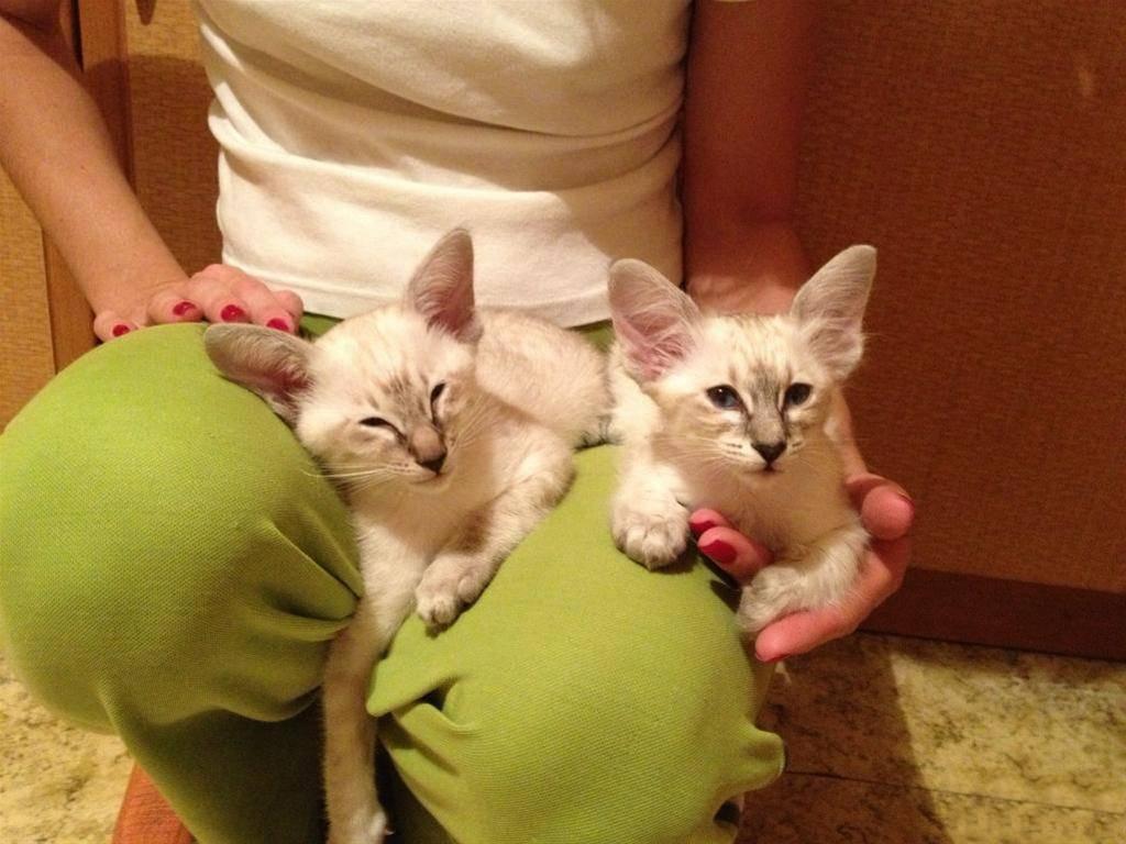 Балинезийская порода кошек фото