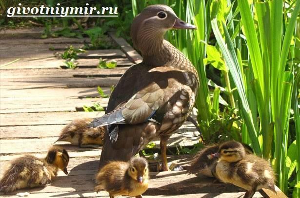 Где живет утка мандаринка чем она интересна