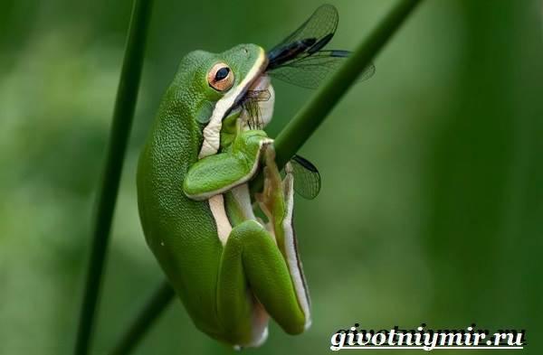 Зеленая лягушка фото