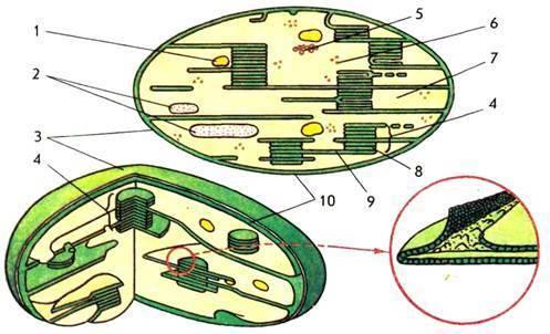В хлоропластах растительных клеток светособирающие комплексы расположены
