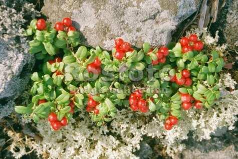 Какие растения встречаются в тундре