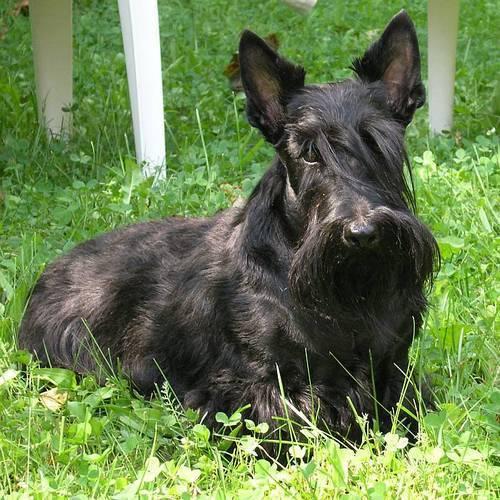 Черный пес фото
