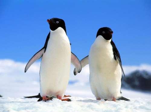 Где водятся пингвины на каком полюсе