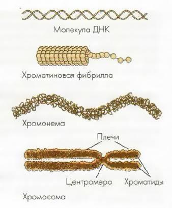 Какие функции выполняет хромосома