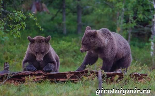 Характер медведя