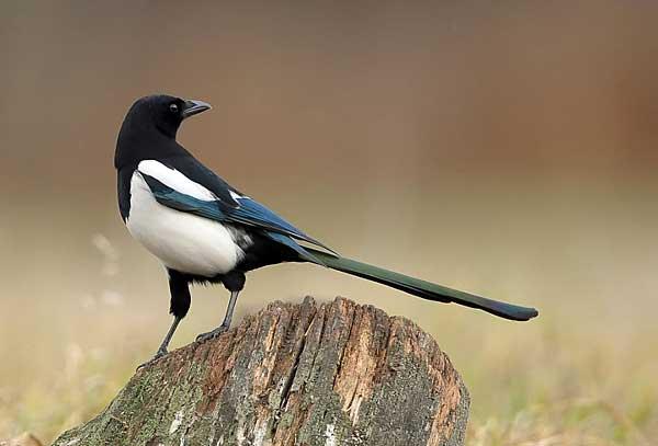 Птицы отряда воробьиных названия фото