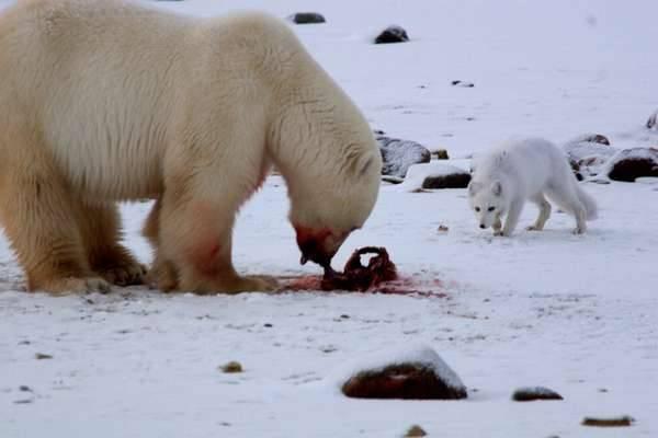 Сколько весит полярный медведь