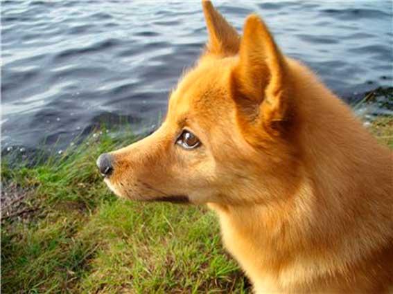 Охотничья собака на уток