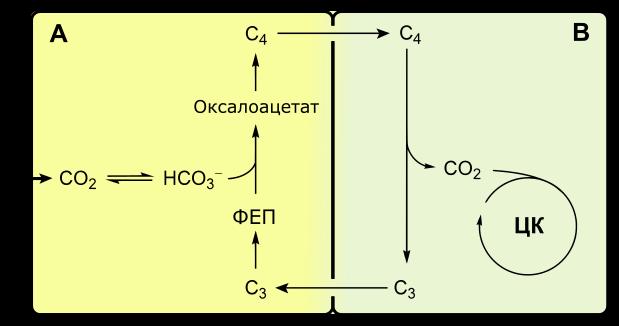 Фотосинтез в листе происходит в клетках