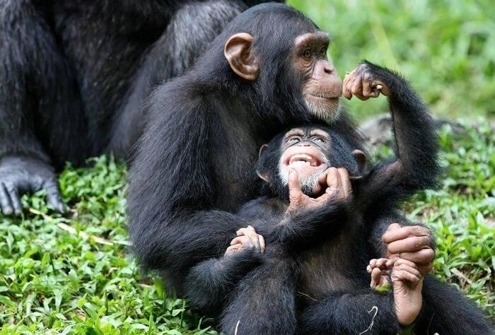 Сколько лет живут шимпанзе