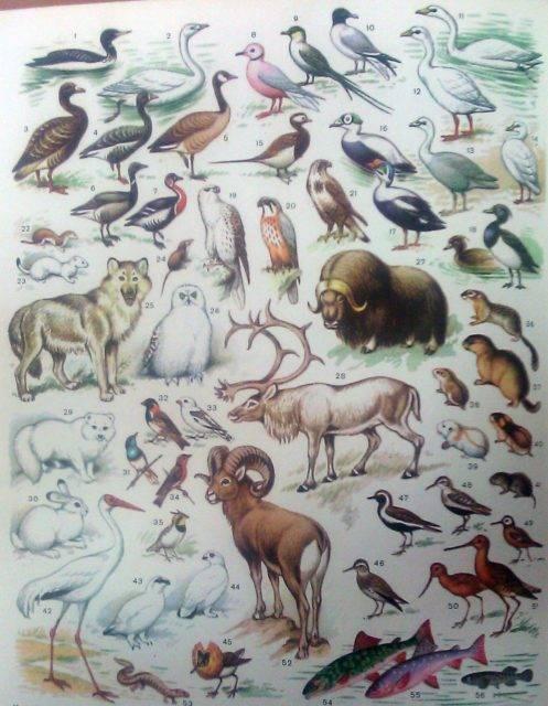 Какое животное не характерно для зоны тундры