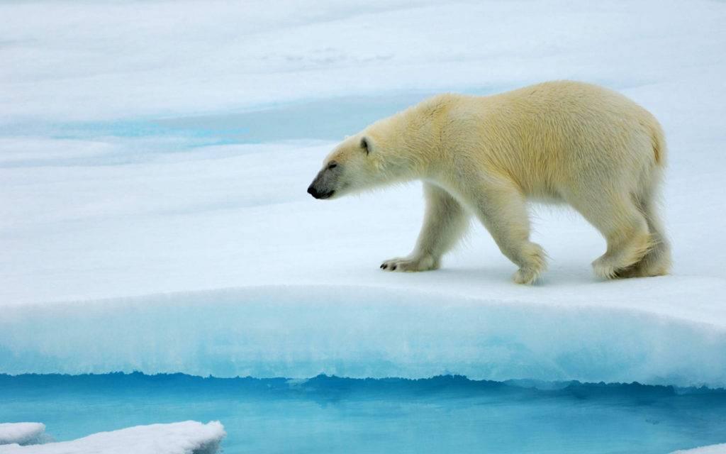 Размеры медведей сравнение