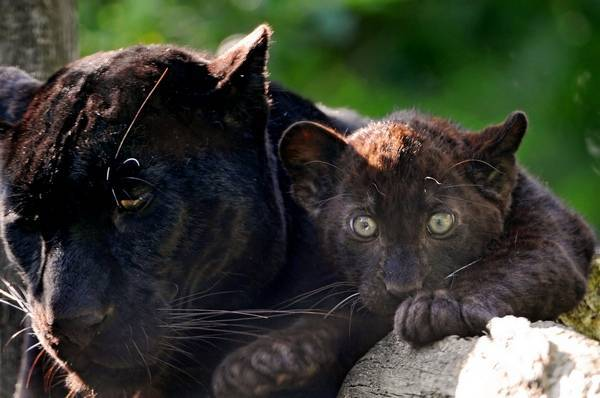 Черная пантера животное