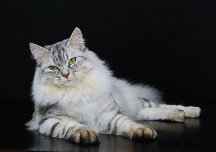 Кот тигрового окраса порода