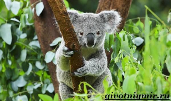 Сколько весит коала