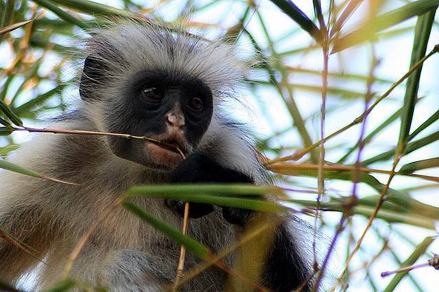 Небольшой попугай обитающий в лесах экваториальной африки