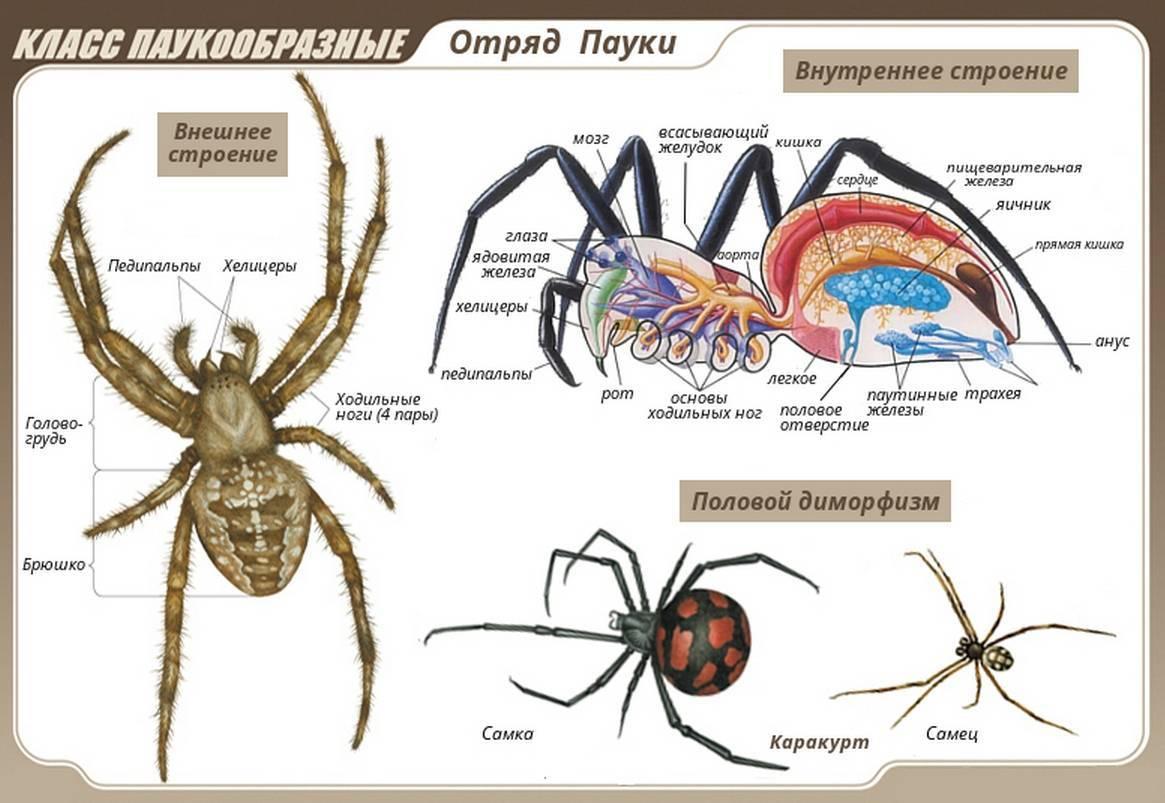 Происхождение паукообразных