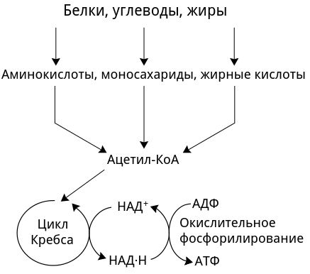 Стадии клеточного дыхания таблица