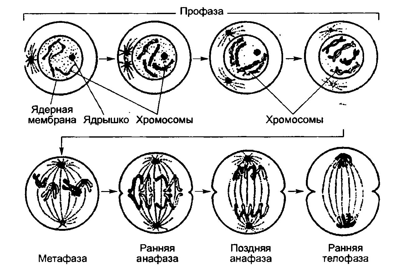 Заполните таблицу фазы митоза