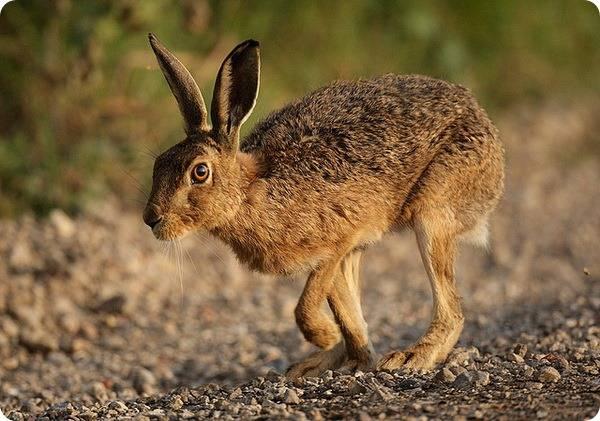Максимальная скорость зайца