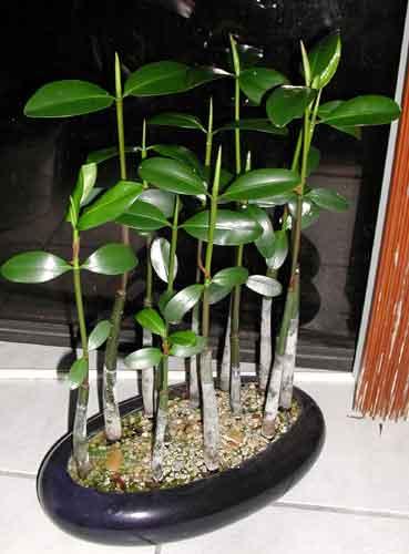 Мангровое дерево фото