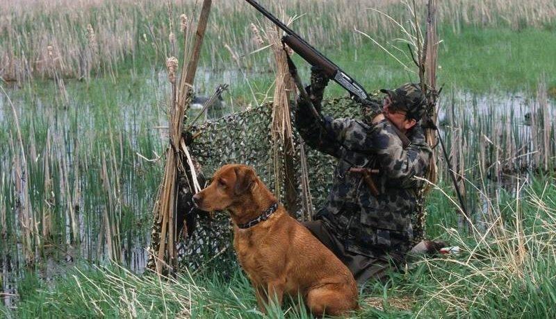 Порода собак для охоты на уток