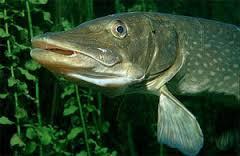 Водоплавающие рыбы