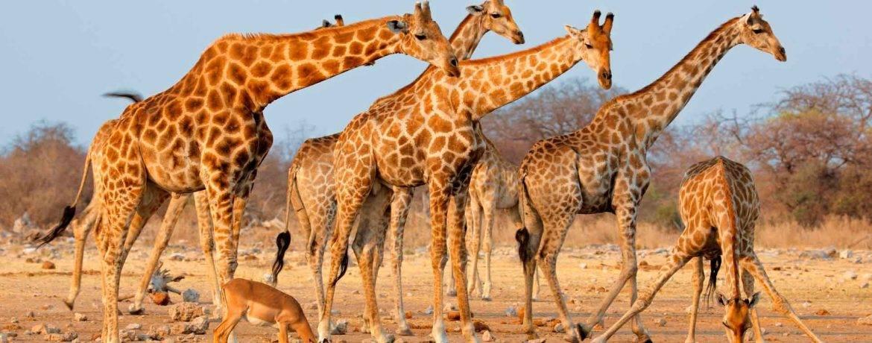 Следы жирафа