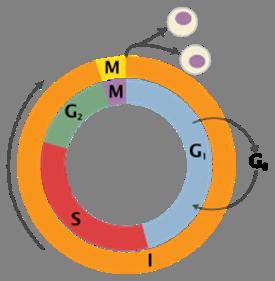 Митотическое деление клетки таблица