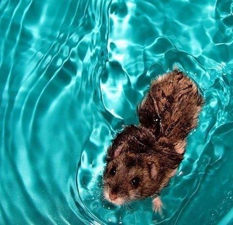 Хомяки умеют плавать