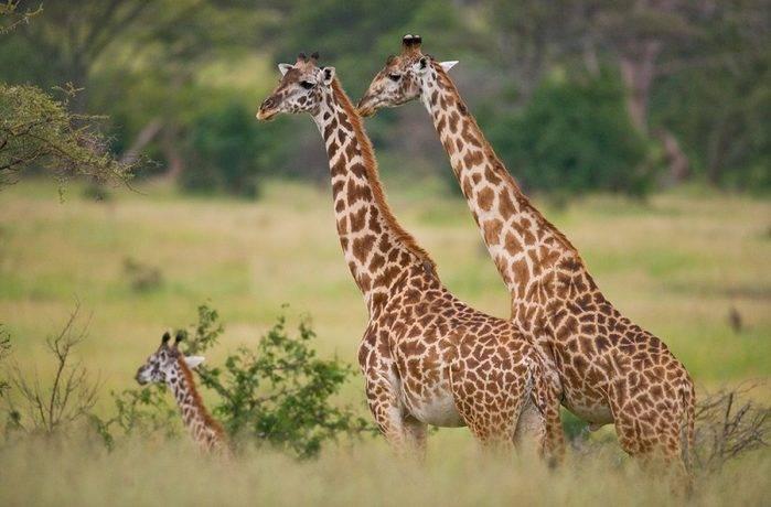 Почему жираф пятнистый