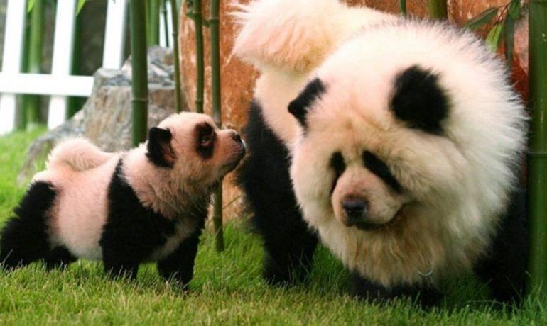 Красная панда где обитает