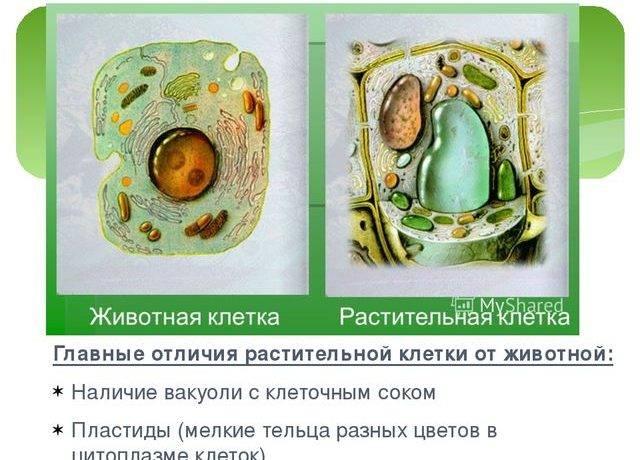 Сходство растительной и животной клетки таблица