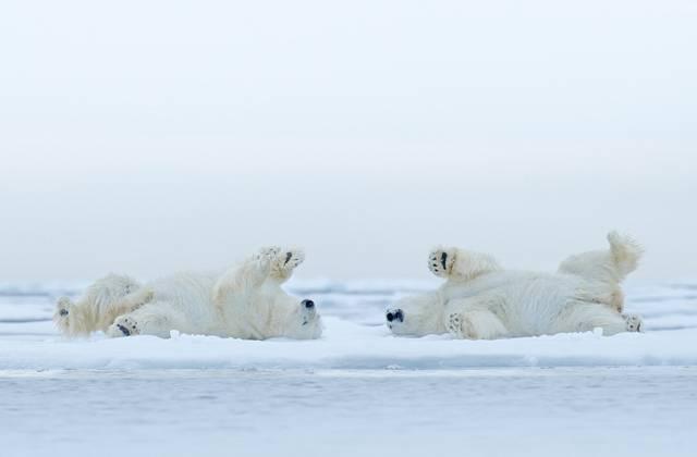 Спят ли белые медведи зимой