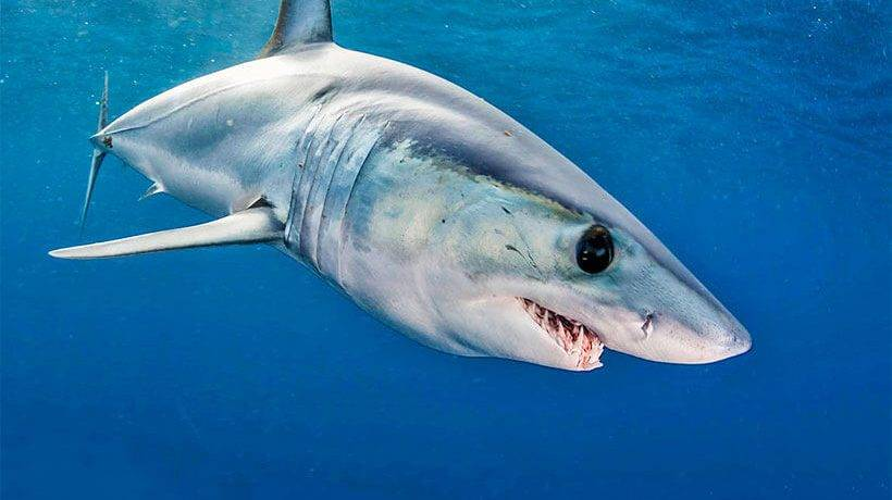 Акула морская рыба