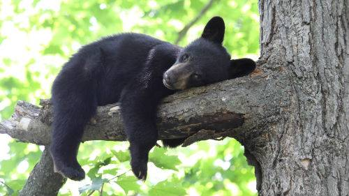 Хищник чёрный медведь