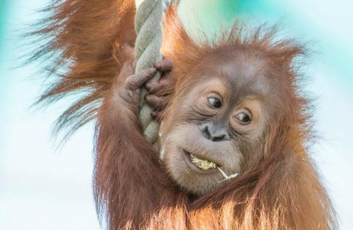 Как выглядит орангутанг