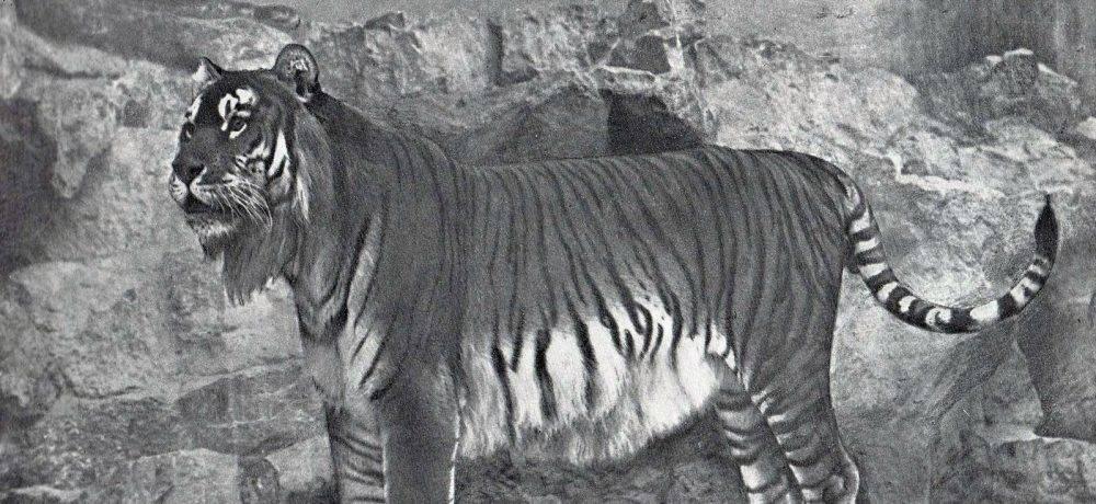 Тигр описание животного для детей