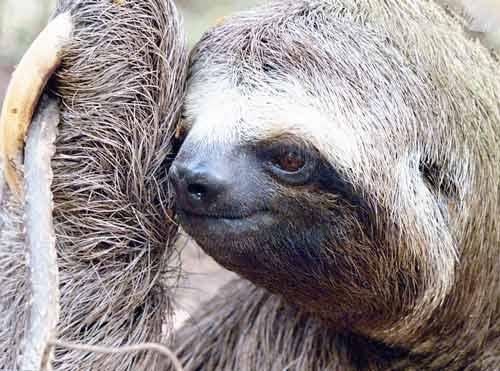 Как зовут ленивца из ледникового периода