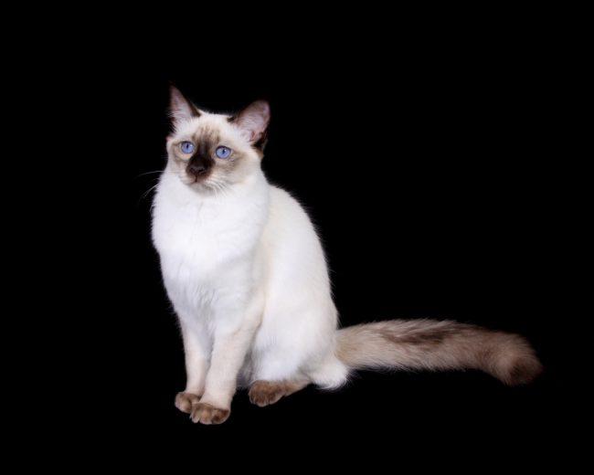 Балинезийские котята фото