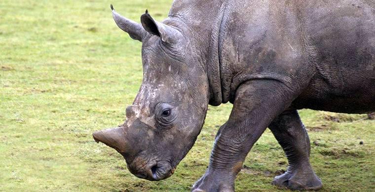 Сколько носорогов осталось на земле