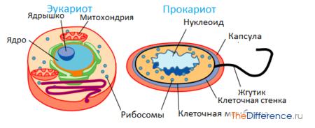 Прокариоты в отличие от эукариот имеют